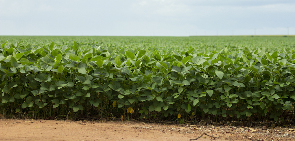 Soybean plantation showing dirt, plans, and clear skies